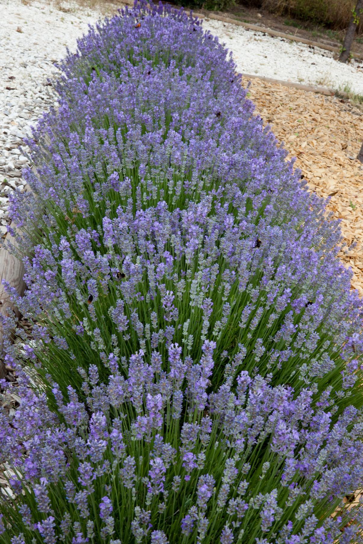 La collection globe planter lavande vraie little lady - Planter lavande en pot ...