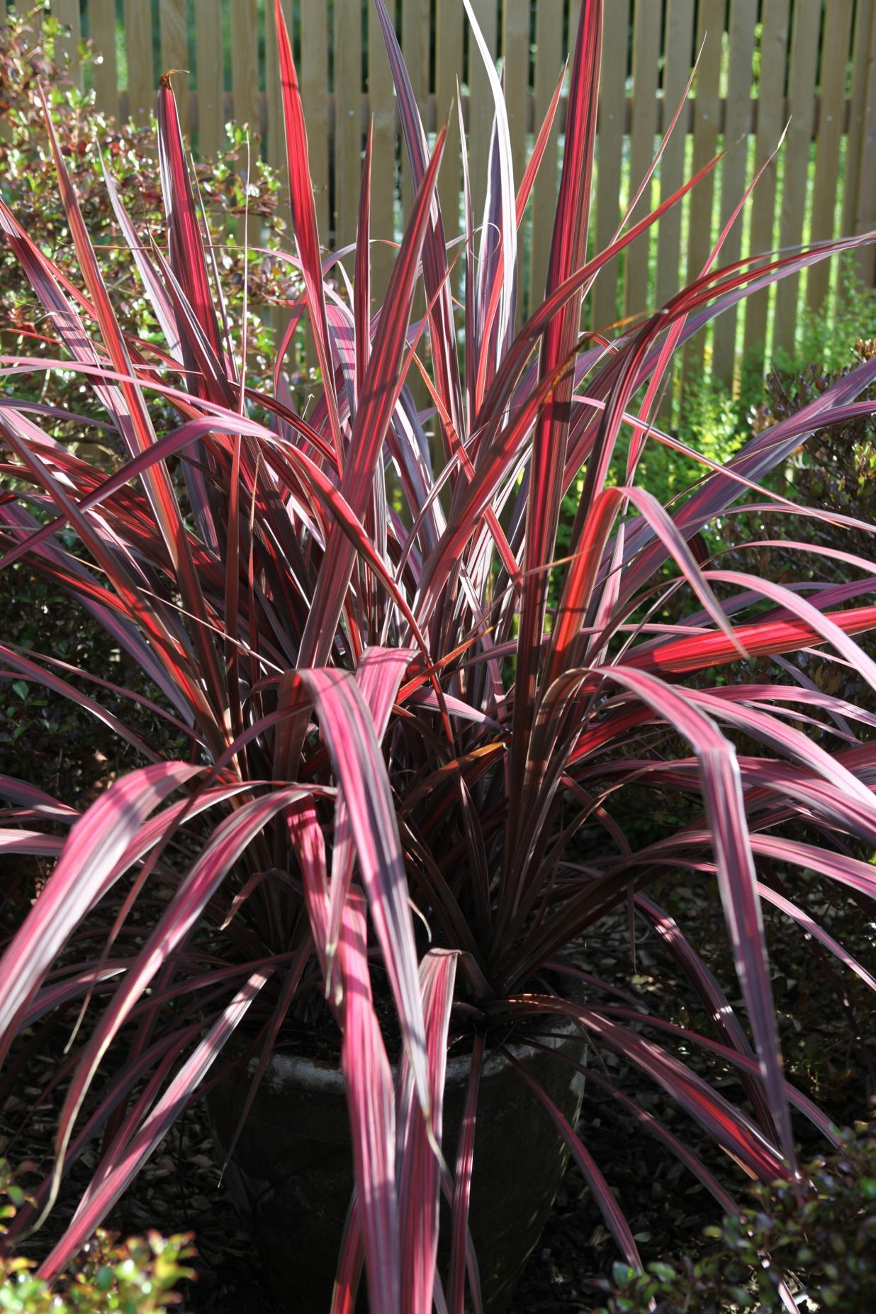 La collection globe planter cordyline electric pink - Cordyline feuilles qui jaunissent ...