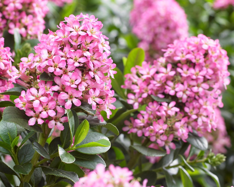 Picture of Live Escallonia (pink) aka Escallonia exon. 'Fradesii' Plant Fit 1 Gallon Pot