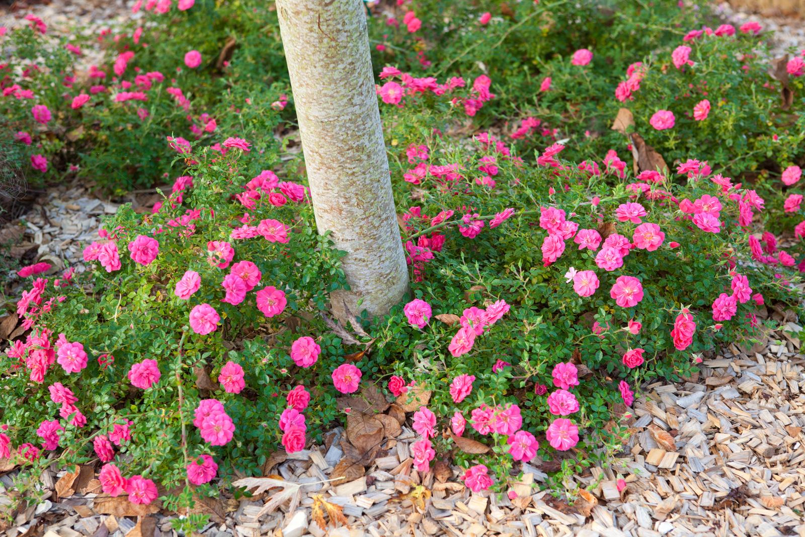 La collection globe planter rosier sans contraintes knirps - Planter un rosier grimpant ...