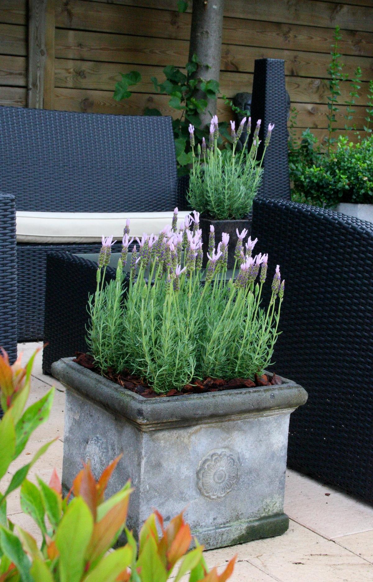 La collection globe planter lavande papillon lusi pink - Planter lavande en pot ...