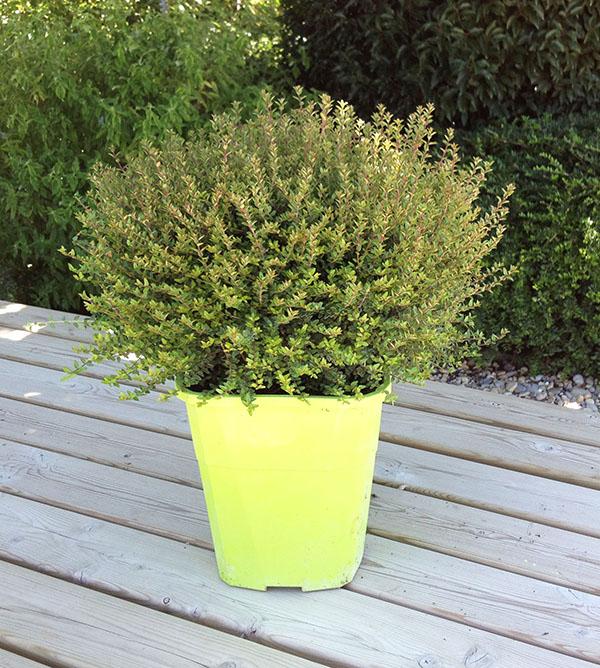 La collection Globe planter - Chèvrefeuille arbustif - Scoop