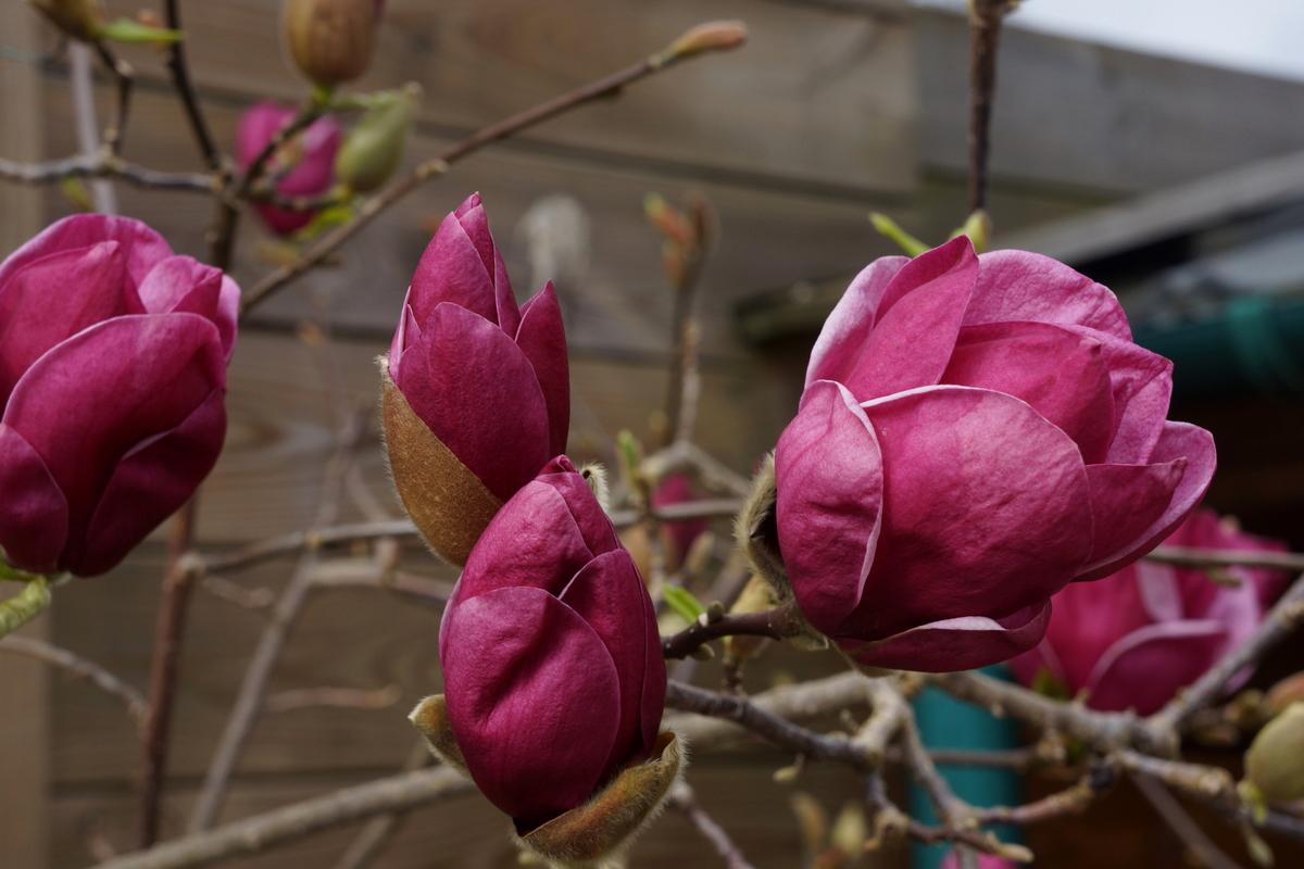 la collection globe planter magnolia de soulange genie. Black Bedroom Furniture Sets. Home Design Ideas