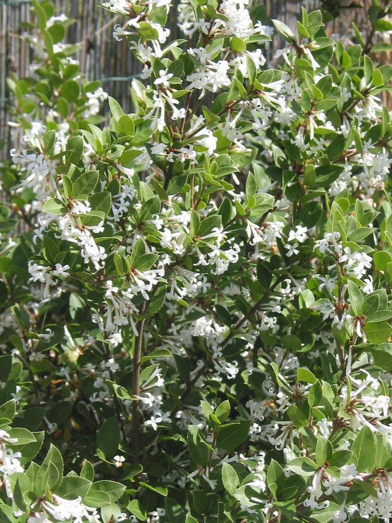 La collection globe planter osmanthe heaven scent for Plante mi ombre persistant