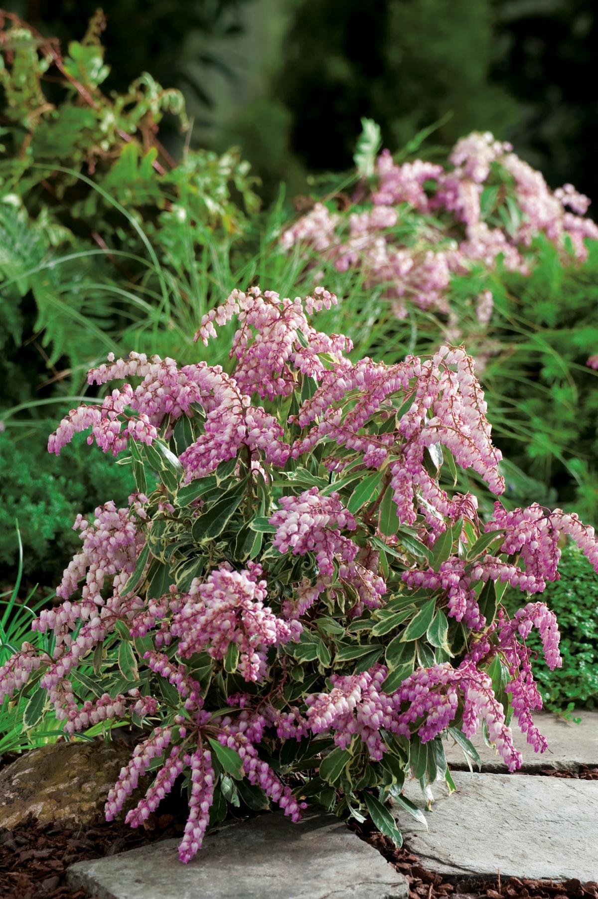 Pieris - japonica - Ralto Rose - Opstal 60