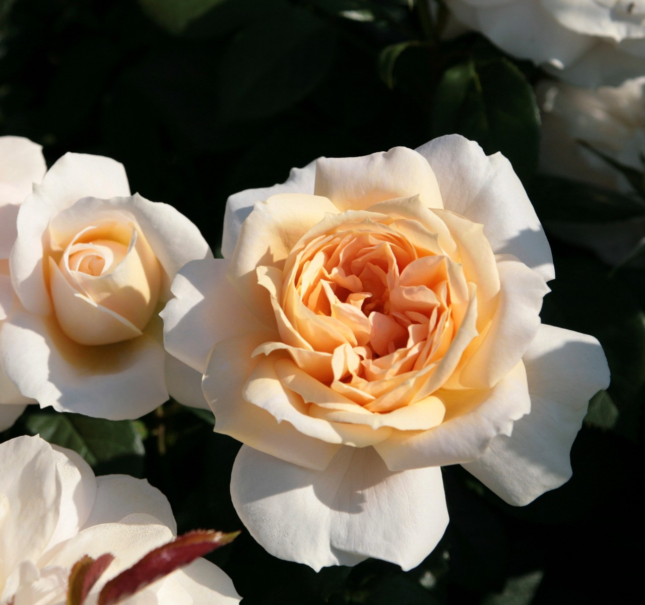 la collection globe planter rosier roses feeriques. Black Bedroom Furniture Sets. Home Design Ideas