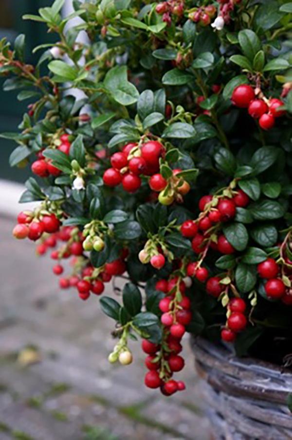Vaccinium - vitis.idaea - Miss Cherry - Meliro
