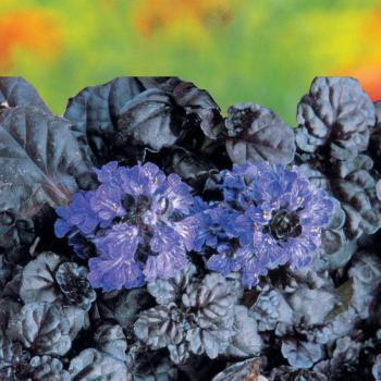 Ajuga - reptans - Black Scallop - Binblasca