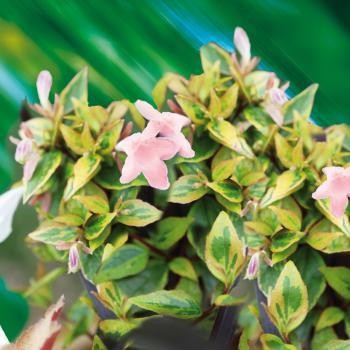 Abelia - grandiflora - Sunshine Daydream - Abelops