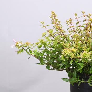 Abelia - grandiflora - Happy Daydream - Opstal101