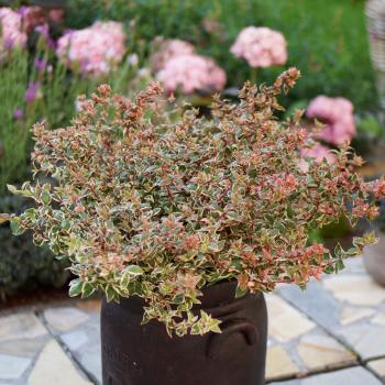 Abelia - grandiflora - Magic Daydream - Opstal303