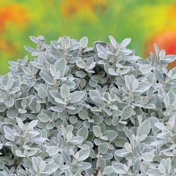 Brachyglottis - greyi X - Walberton's® Silver Dormouse - Walbrach