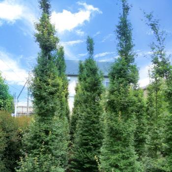 Acer - palmatum - Silhouette - cov