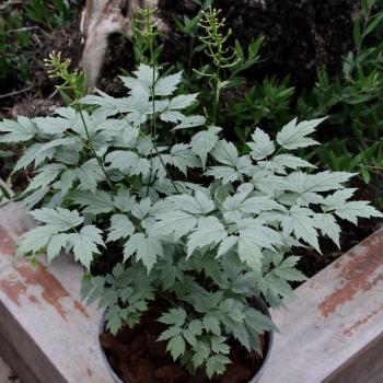 Actaea - pachypoda - Misty Blue - LK05