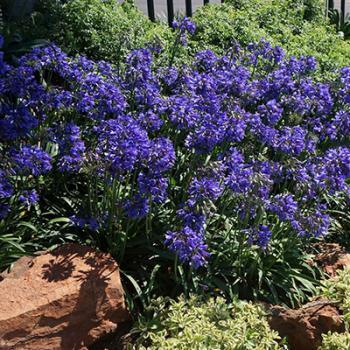 Agapanthus - hybride - Ever Sapphire  - Andbin