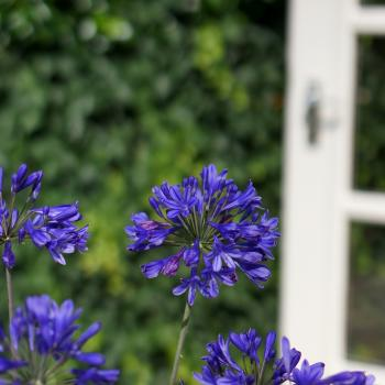 Agapanthus - hybride - Brilliant Blue - Aga04051