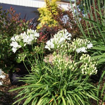 Agapanthus - hybride - Double Diamond - RFDD