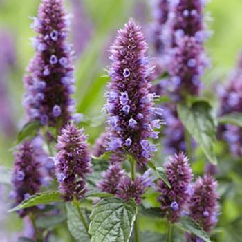 Agastache - hybride - Beelicious Purple - Agapd