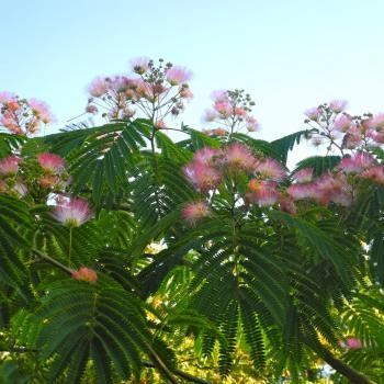 Albizia - julibrissin - Tropical Dream - Pos 1