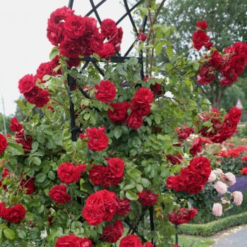 Rosa - hybride - Amadeus® - Korlabriax