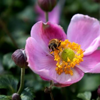 Anemone - hybride - Pink Cloud - PKAN
