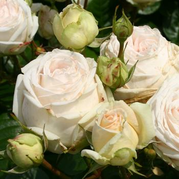 Rosa - hybride - Madame Anisette® / Mme de La Vallière - Korberonem