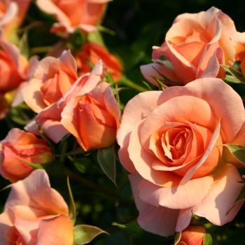 Rosa - hybride - Aprikola® - Kororbe