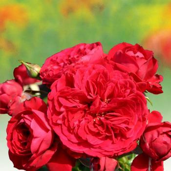 Rosa - hybride - Chaperon Rouge - Korcasima