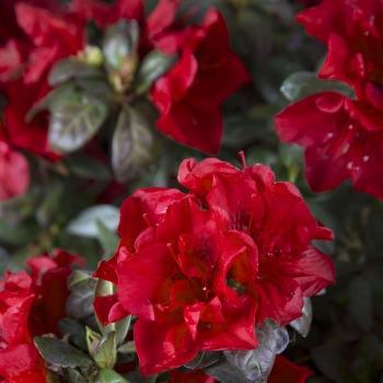 Azalea - hybride - Autumn Fire - Roblez