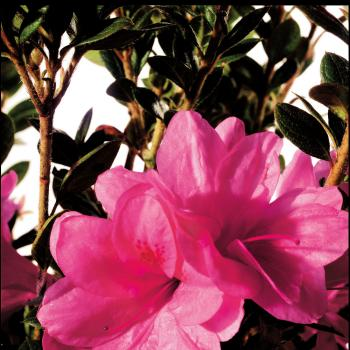 Azalea - japonica - Empress - Conles