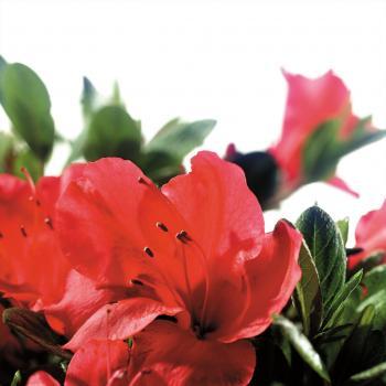 Azalea - japonica - Sunset - Roblen