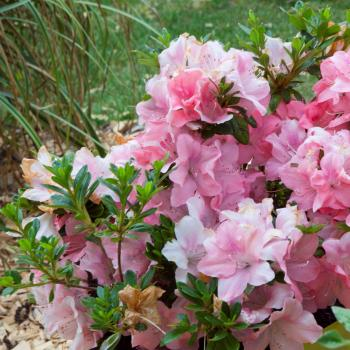 Azalea - japonica - Debutante - Roblel