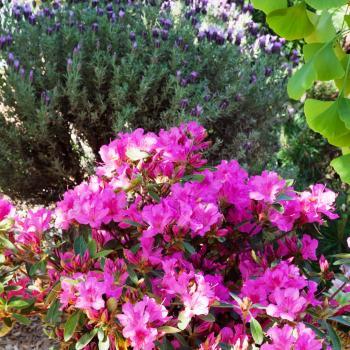 Azalea - japonica - Sangria - Roblee