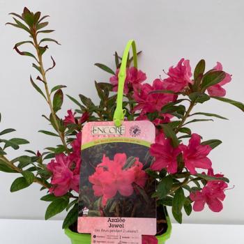 Azalea - hybride - Jewel - Roblue