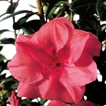 Azalea - japonica - Princess - Roblea