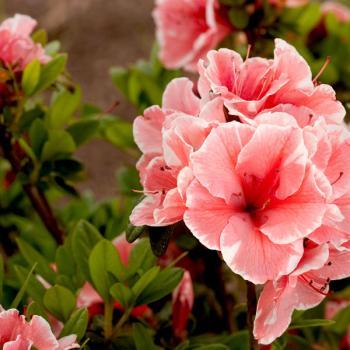 Azalea - hybride - Sunburst - Roblet