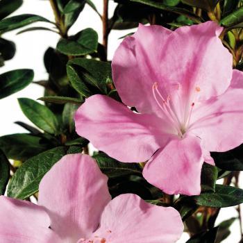 Azalea - japonica - Sweetheart - Roblja