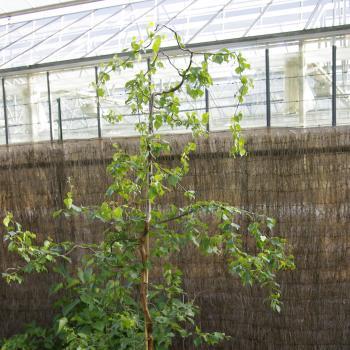 Betula - alba - Spider Alley - cov