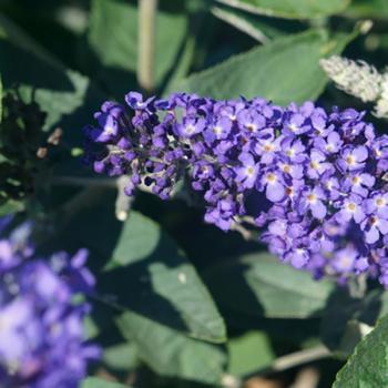 Buddleja    - davidii - Blue Heaven  - Podaras 8