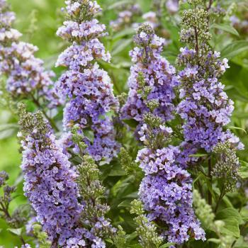 Buddleja - davidii - High Five Purple - 2391