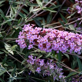 Buddleja - davidii - Lavender Flow - Podaras 12
