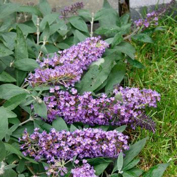 Buddleja - hybride - Dreaming Lavender - Hinebud1