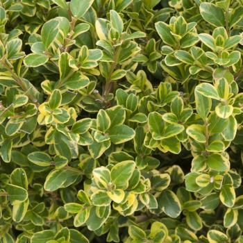 Buxus - microphylla - Golden triumph - Cov