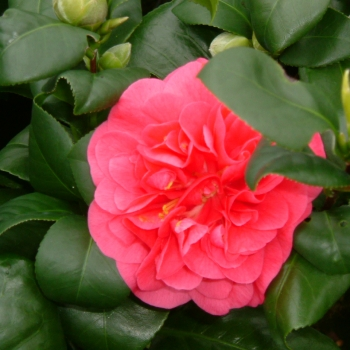 Camellia - japonica - Curly Lady - Cov