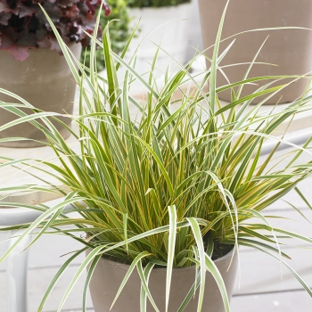 Carex - morrowii - Everglow - Cov