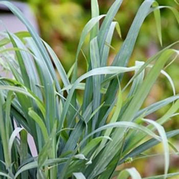 Carex - laxiculmis - Bunny Blue - Cov