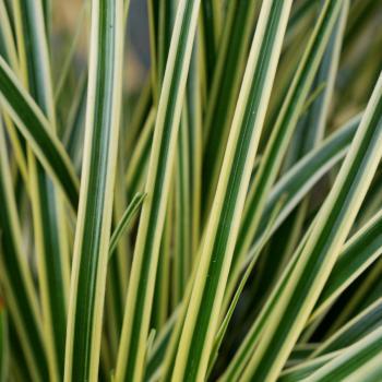 Carex - oshimensis - Evercream - Ficre