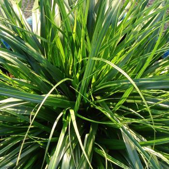 Carex - oshimensis - Everdi - cov