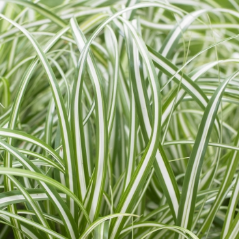 Carex - oshimensis - Everlite - cov