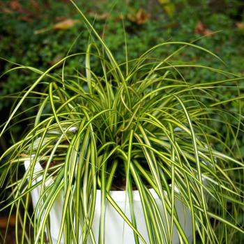 Carex - oshimensis - Eversheen - Cov
